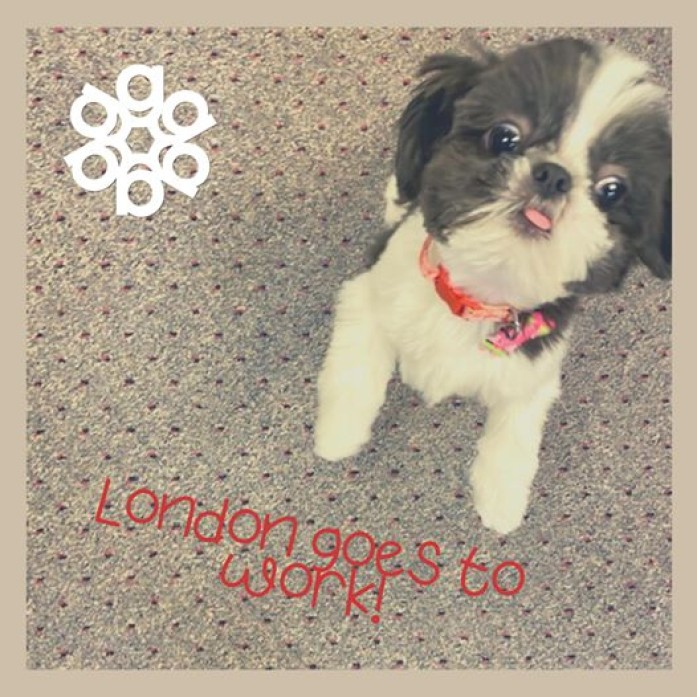 London goes to work! Employees who are at the office are enjoying the newest co-worker, Amy Pertschi's sweet little London